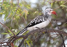 Southern Red-billed Hornbill (Tockus rufirostris), Borakalalo NP, South Africa (9822585154).jpg