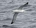 Southern Royal Albatross CW.jpg