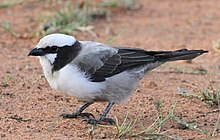 Southern White-crowned Shrike, Eurocephalus anguitimens, gleaning ants from the early morning soil at Marakele National Park, South Africa (13952312157).jpg