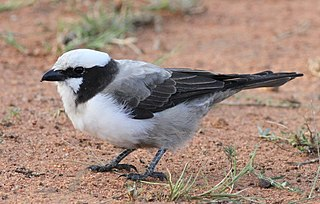 Southern white-crowned shrike African species of bird