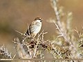 Spanish Sparrow (Passer hispaniolensis) (37907161874).jpg