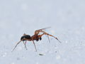 Spider on snow (9689463864).jpg