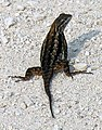 Spiney Lizard (53253058).jpg
