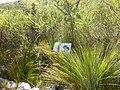 Spiny Grass of Booderee National Park.jpg