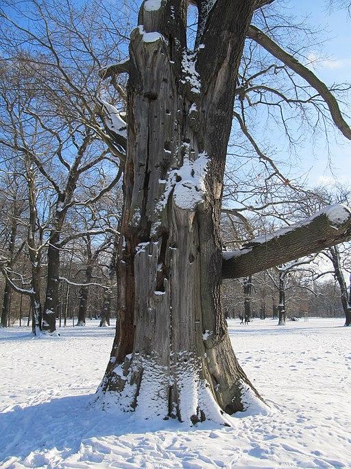 Splittereiche Winter (4)