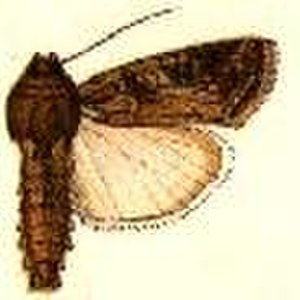 Fall armyworm - Illustration