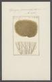 Spongia fasciculata - - Print - Iconographia Zoologica - Special Collections University of Amsterdam - UBAINV0274 112 02 0009.tif