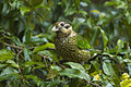 Spotted Catbird - Lake Eacham - Queensland S4E7917 (22198565830).jpg