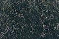 Sprigs of grass (Unsplash).jpg