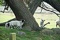 Spring Lambs - geograph.org.uk - 795928.jpg