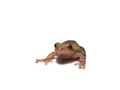 Spring Peeper (Pseudacris crucifer) (6239872570).png