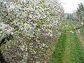 Spring at Brogdale - geograph.org.uk - 417686.jpg