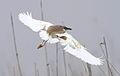 Squacco Heron, Ardeola ralloides at Marievale Nature Reserve, Gauteng, South Africa (15022518053).jpg