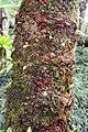 Stangeria eriopus 6zz.jpg