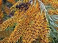 Starr-010419-0004-Grevillea robusta-flowers and fruit-Kula-Maui (24505983926).jpg