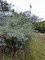 Starr-010717-0050-Buddleja davidii-habit-Kula-Maui (24165283329).jpg