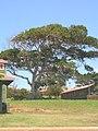 Starr-050516-1360-Ficus macrophylla-habit-Maunaloa-Molokai (24736515746).jpg