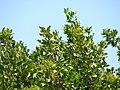 Starr-070404-6627-Conocarpus erectus-leaves-Keomoku Beach-Lanai (24793605151).jpg