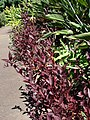 Starr-071024-0327-Alternanthera brasiliana-habit-Enchanting Floral Gardens of Kula-Maui (24266272364).jpg