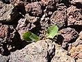 Starr-090504-7169-Taraxacum officinale-habit-Science City-Maui (24927755236).jpg