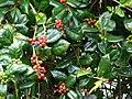 Starr-090514-7853-Ilex aquifolium-fruit and leaves-Kula-Maui (24587685619).jpg
