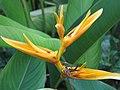 Starr-090730-3391-Heliconia psittacorum-flowers-Honolulu Airport-Oahu (24603053019).jpg