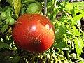 Starr-090801-3484-Solanum lycopersicum-fruit in garden-Olinda-Maui (24852866652).jpg