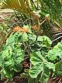 Starr-090806-3864-Jatropha podagrica-flowering habit-Wailuku-Maui (24340841644).jpg