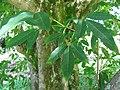 Starr-091104-0872-Vitex parviflora-leaves-Kahanu Gardens NTBG Kaeleku Hana-Maui (24961439236).jpg