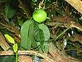 Starr-091104-0889-Garcinia xanthochymus-leaves and fruit-Kahanu Gardens NTBG Kaeleku Hana-Maui (24620163439).jpg