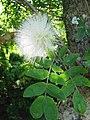 Starr-091104-0932-Calliandra haematocephala-white flower and leaves-Kahanu Gardens NTBG Kaeleku Hana-Maui (24987862845).jpg