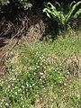 Starr-100603-6864-Erigeron karvinskianus-flowering habit-Polipoli-Maui (24409204954).jpg