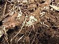 Starr-100615-7035-Rubus niveus-habitat with Tapinoma sessile nest-Waipoli Rd Kula-Maui (25040297155).jpg