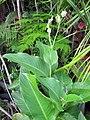 Starr-110215-1014-Canna indica-habit-KiHana Nursery Kihei-Maui (25048856986).jpg