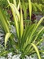 Starr-110307-2303-Phormium tenax-habit-Kula Botanical Garden-Maui (25076798055).jpg