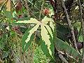 Starr-110330-3599-Manihot esculenta-variegated leaves-Garden of Eden Keanae-Maui (24453636543).jpg