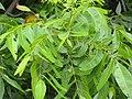 Starr-110601-6044-Carya illinoinensis-leaves-Keokea-Maui (24465908414).jpg