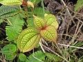 Starr-110722-7396-Clidemia hirta-leaves-Waihee Ridge Trail-Maui (25073486476).jpg