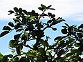 Starr-110929-0258-Polyscias oahuensis-leaves-Hanaula-Maui (24485591824).jpg