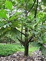 Starr-120606-9585-Artocarpus altilis-habit-Kahanu Gardens Hana-Maui (25051925651).jpg