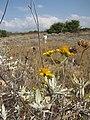 Starr-130422-4266-Encelia farinosa-flowering habit with Kim-Kahului-Maui (24583619443).jpg