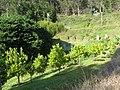 Starr-130605-2267-Citrus sinensis-Navel orange grove-Ehu Rd Piiholo-Maui (25118259771).jpg