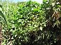 Starr-130702-5464-Ipomoea alba-habit-Kealia Pond-Maui (25099353622).jpg