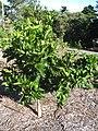Starr-140117-3977-Citrus sinensis-Cara Cara Navel habit-Hawea Pl Olinda-Maui (25239039065).jpg