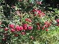 Starr-140624-4598-Rosa chinensis-CV Lokelani flowering habit-Kekaulike Ave Kula-Maui (24612835684).jpg
