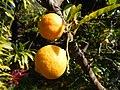Starr-150112-3403-Citrus limonia-fruit-Hawea Pl Olinda-Maui (25171286451).jpg