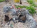 Starr-150403-0149-Brassica juncea-ropes floats marine debris Laysan Albatrosses-Southeast Eastern Island-Midway Atoll (24648915193).jpg