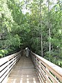 Starr-160717-5017-Taxodium distichum-with both varieties imbircatum and Forest-Green Cay Nature Center Boynton Beach-Florida (29557160372).jpg