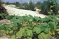 Starr-990604-0963-Sicyos maximowiczii-habit-Inland-Laysan Island (24231916330).jpg