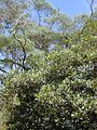Starr 010715-0039 Ficus cf. platypoda.jpg